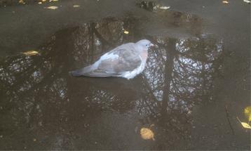 В Терлецком парке заметили вяхиря