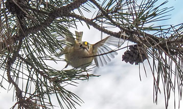 Самая мелкая птичка